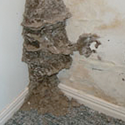Termite nest in internal wall cavity