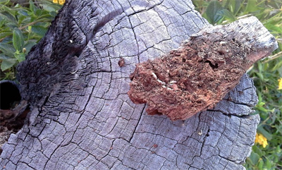 Live termites found in log during pest inspection