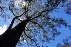 lane cove tree